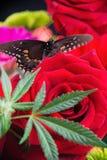 与英国兰开斯特家族族徽、大麻叶子和蝴蝶的大麻花束 免版税库存照片