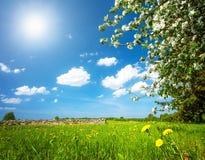 与苹果树的蒲公英领域 库存照片