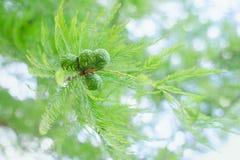 与茂盛植物和绿色锥体的被日光照射了淡色柏分支 库存照片