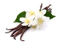 与茉莉花的香草 免版税库存照片