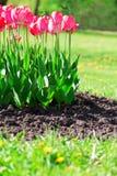 与草和土壤的新鲜的洋红色郁金香 库存照片