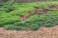 与草坪的地面脚印牛牧群 免版税库存照片