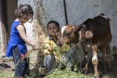 与草的小女孩哺养的小牛 免版税图库摄影