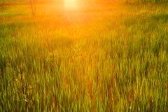 与草的春天或夏天抽象自然背景在我 免版税库存图片