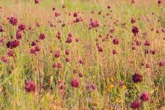 与草的红色花在草甸 与温暖的颜色的日落时间 夏天或秋天花卉样式 免版税库存图片