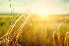 与草的美好的夏天风景在日落的领域 免版税库存图片