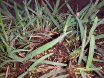 与草种子的草 免版税库存照片