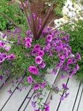 与草茎的紫色喇叭花 免版税库存照片