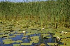与荷花和纸莎草的河风景 库存照片