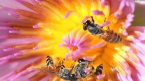 与荷花或莲花的宏指令接近的蜂 股票视频