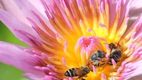 与荷花或莲花,宏指令接近的蜂 影视素材