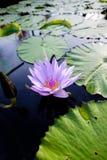 与荷花的紫色莲花 免版税库存图片