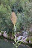 与荻芦竹拉丁芦苇donax的词根的开花 免版税库存图片