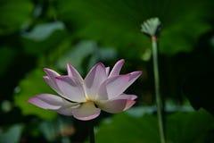 与莲花根一起的一朵莲花在同样框架 免版税库存图片