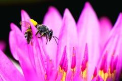 与莲花的蜂 库存图片
