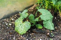 与莴苣、蓬蒿和其他绿色射击的床  播种和射击种子在庭院里 免版税图库摄影