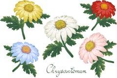 与菊花的传染媒介花卉例证 r 您的花卉设计的桃红色金黄雏菊 皇族释放例证