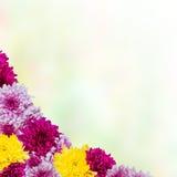 与菊花的背景 免版税库存图片