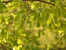 与菩提树木头绿色年轻叶子的宏观照片在浅绿色散开的背景的 免版税库存照片