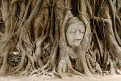 与菩萨头的老树 免版税库存图片