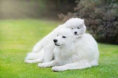 与萨莫耶特人狗小狗的萨莫耶特人狗  免版税库存照片