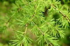 与落叶松属欧洲人(落叶松属12月的年轻绿色针的分支 免版税库存照片