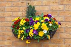 与落后的常春藤平底锅的冬天和春天开花的垂悬的篮子 库存照片