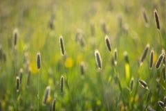 与落日由后照的浅景深的高草 库存照片