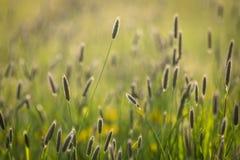 与落日由后照的浅景深的高草 免版税库存图片