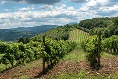 与葡萄园和小山的风景 免版税库存图片