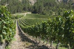 与葡萄园的国家风景在南法国 免版税库存图片