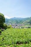 与葡萄园的意大利北部风景 免版税库存图片