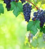 与葡萄园的自然背景 免版税库存照片