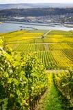 与葡萄园的莱茵河谷 免版税图库摄影