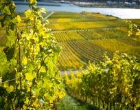 与葡萄园的莱茵河谷 免版税库存图片