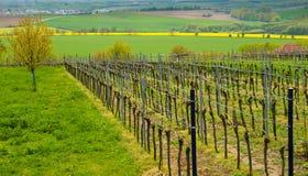 与葡萄园的酒风景在摩拉维亚,捷克 库存照片
