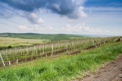 与葡萄园的风景小山的 图库摄影