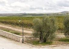 与葡萄树的一棵橄榄树在Tomaresca Tenuta Bocca di Lupo的背景中 库存照片