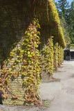 与葡萄树的古老柱子在公墓 库存照片