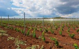 与葡萄树苗的葡萄栽培 免版税库存照片