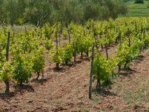 与葡萄植物的克罗地亚藤透视的 库存照片