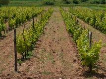 与葡萄植物的克罗地亚藤透视的 免版税库存照片