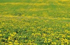 与蒲公英的领域的夏天背景 库存图片