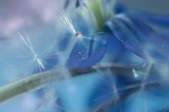 与蒲公英种子的精美蓝色艺术性的图象的抽象背景在蓝色背景花Scilla西伯利亚人的,精选 库存照片