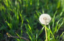 与蒲公英花和飞行种子的吊唁或同情设计 库存照片