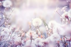 与蒲公英花的美好的花卉背景 免版税库存图片
