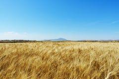 与蓝天和一座山的麦田在背景 免版税库存图片