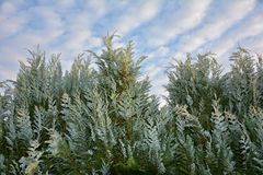 与蓝天和云彩的大树篱 免版税库存图片