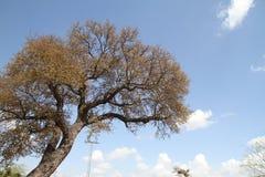 与蓝天和云彩的树 免版税库存照片