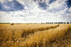 与蓝天和剧烈的云彩的金黄麦田晴天 免版税图库摄影